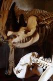 Czarny nosorożec kościec Fotografia Stock