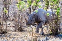 Czarny nosorożec zbliżać się Fotografia Royalty Free