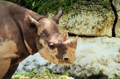 czarny nosorożec Fotografia Royalty Free