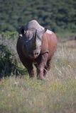 Czarny nosorożec wyzwanie Zdjęcia Stock