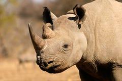 czarny nosorożec Zdjęcie Royalty Free