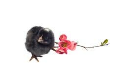 Czarny nowonarodzony dziecko kurczak odizolowywający na bielu Zdjęcia Stock