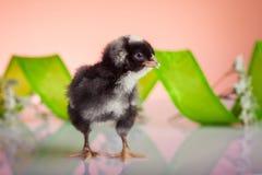 Czarny nowonarodzony kurczak Zdjęcia Royalty Free