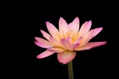 czarny odosobnionej lily wody tropikalne fotografia stock