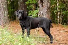 Czarny ogar mieszający labradora traken Fotografia Royalty Free