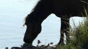 Czarny ogier pije jezioro wodę na słonecznym dniu zdjęcie wideo
