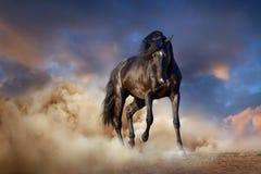 Czarny ogiera koń Obraz Royalty Free