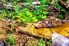 Czarny Ogoniasty Jeleni dosypianie na Tod górze w Kanada BC fotografia royalty free