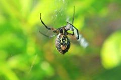 czarny ogrodowego pająka kolor żółty Zdjęcie Royalty Free