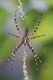 czarny ogrodowego pająka kolor żółty Zdjęcia Royalty Free