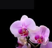 czarny orchidea Obrazy Royalty Free