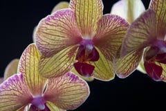 czarny orchidea Zdjęcia Stock