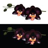 czarny orchidea Fotografia Royalty Free