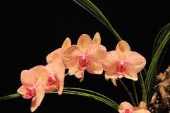 czarny orchidee Obrazy Stock
