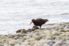 czarny oystercatcher Zdjęcie Stock