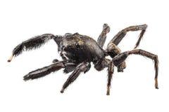 Czarny pająk obraz royalty free