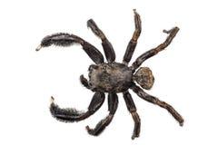 Czarny pająk zdjęcie stock