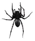 czarny pająk Fotografia Royalty Free