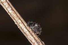 Czarny pająk na gałązkach Zdjęcie Stock