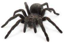 Czarny pająk. Tarantula Grammostola Pulchra Obrazy Stock