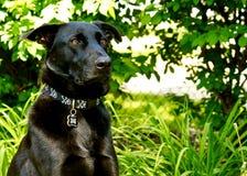 Czarny Pasterski pies Utrzymuje zegarek w jego jardzie z ogłuszonym spojrzeniem podczas lata zdjęcie royalty free