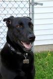 Czarny Pasterski pies Utrzymuje zegarek w jego jardzie z uśmiechem fotografia stock