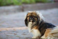Czarny Pekingese pies i Brown Obrazy Royalty Free