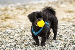Czarny Pekingese pies na pla?y zdjęcia stock
