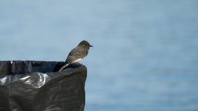 Czarny Phoebe ptak Umieszczający na pojemnik na śmiecie Obraz Stock