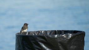 Czarny Phoebe ptak Umieszczający na pojemnik na śmiecie Obrazy Stock