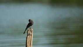 Czarny Phoebe ptak Umieszczający na Drewnianej desce Zdjęcia Royalty Free
