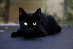 Czarny piękny kot z złotymi oczami fotografia stock
