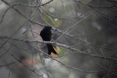 Czarny piękny ptak fotografia stock