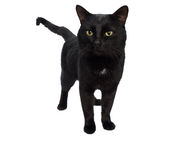 Czarny piękny kot Obraz Royalty Free