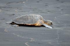 Czarny Piaska Plaży Żółw Fotografia Royalty Free