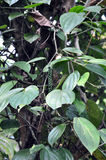 czarny pieprzowy drzewo zdjęcie stock
