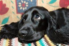 czarny pies Zdjęcia Royalty Free