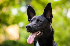 Czarny pies Zdjęcia Stock