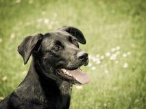 Czarny pies (30) Obrazy Stock