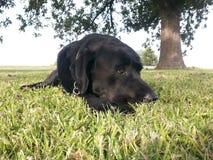 czarny pies Obraz Royalty Free