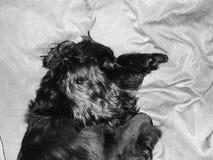 czarny pies Fotografia Stock