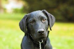 czarny pies Zdjęcie Stock