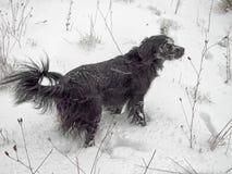 Czarny pies cieszy się śnieg w drewnach Obrazy Royalty Free