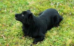 Czarny pies, czarny pies, kłama Fotografia Stock