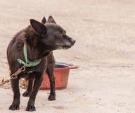 Czarny pies jest ubranym zielonego kolor Obrazy Stock