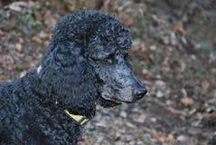 CZARNY pies: Królewski pudel fotografia stock
