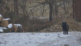 Czarny pies na drodze zbiory wideo