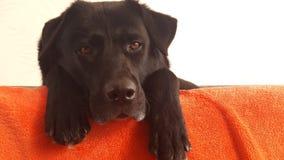 czarny pies odpoczywa jego nogi Obraz Royalty Free