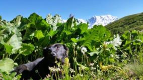 Czarny pies Odpoczywa W łące Z śnieżystymi górami W tle, Górny Svaneti, Gruzja obraz stock