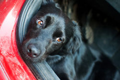Czarny pies odpoczywa w czerwonym samochodzie obraz royalty free